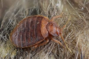 cimex lectularius bed bug