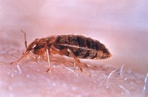 bed bug cimex lectularius on skin