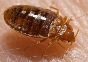 cimex lectularius, bed bug on skin
