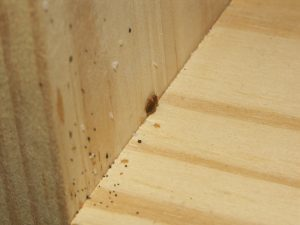 bed bug symptoms wood shelf