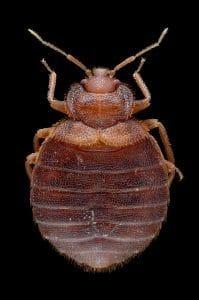 bedbug close look