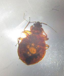 hungry bedbug