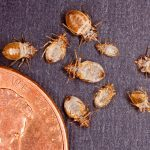 identify bed bugs size penny