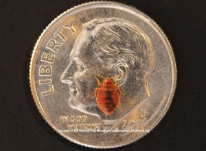 identify bedbug size dime