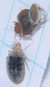 molting signs bed bugs picture