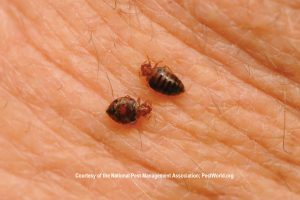 picture bedbugs bites skin