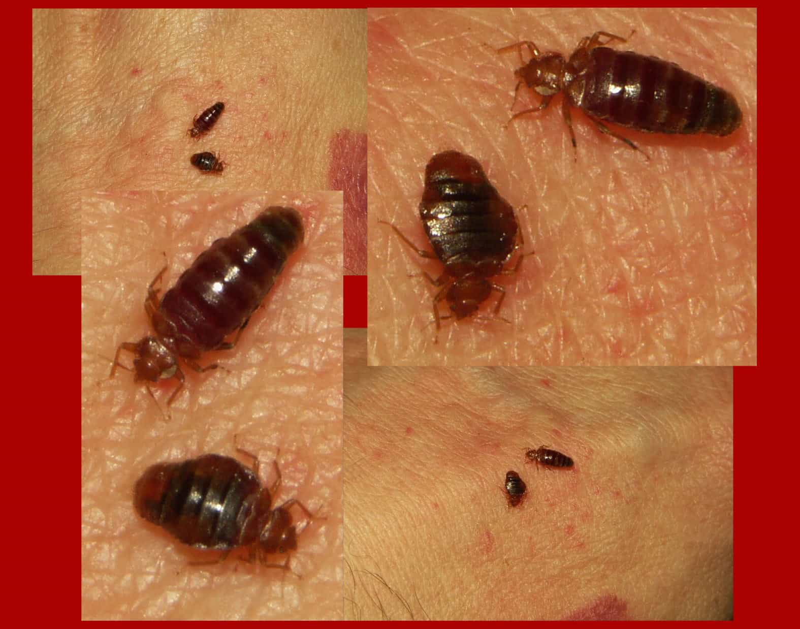 This Is What Bed Bugs Look Like Debedbug