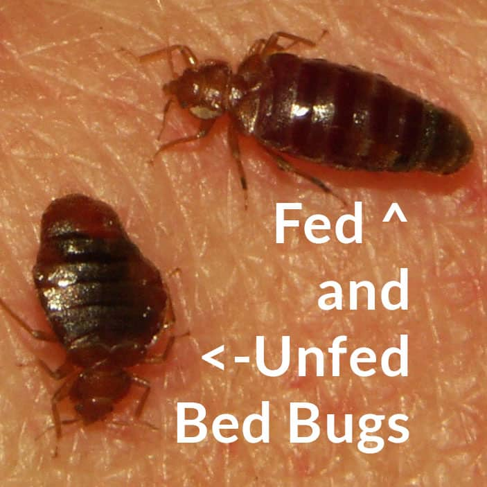bed bug fed and unfed
